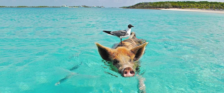 Ook op dit eiland kun je zwemmen met varkens!