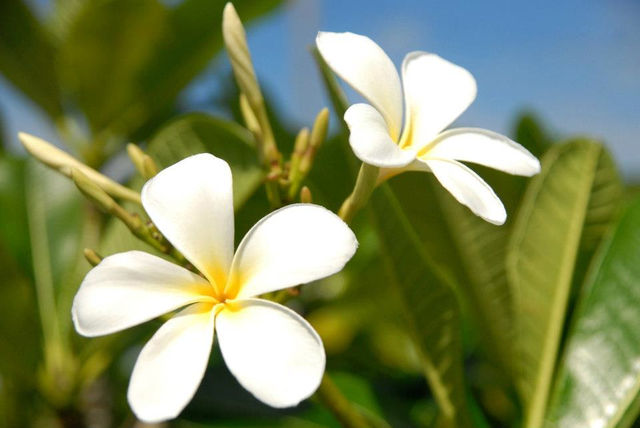 tiare-bloem