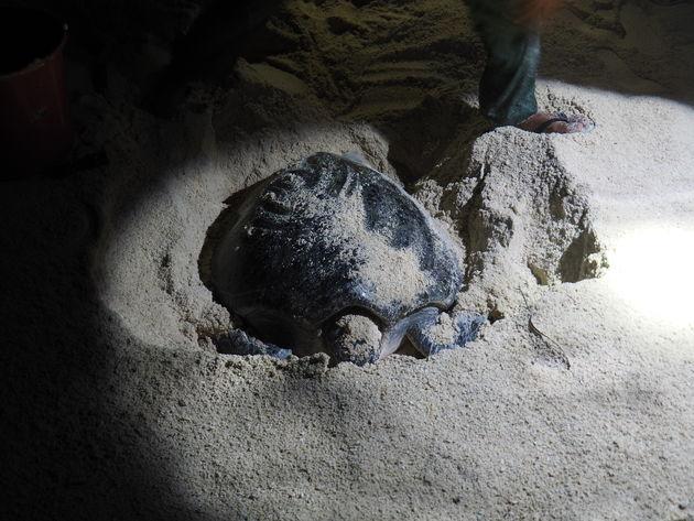 16. Turtle time Selingan schildpaddeneiland