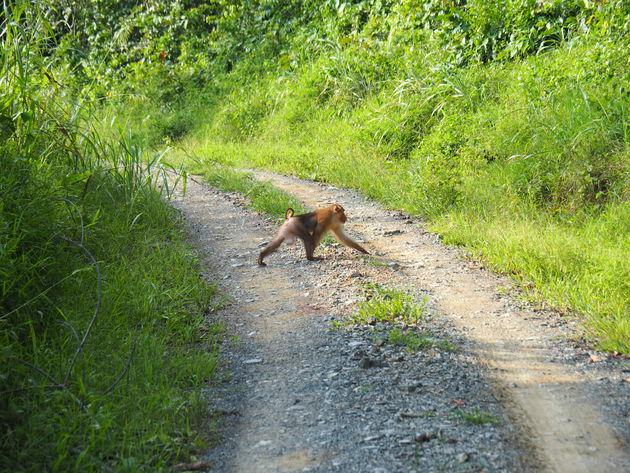 19. Pig tailed makaak Tabin wildlife reserve
