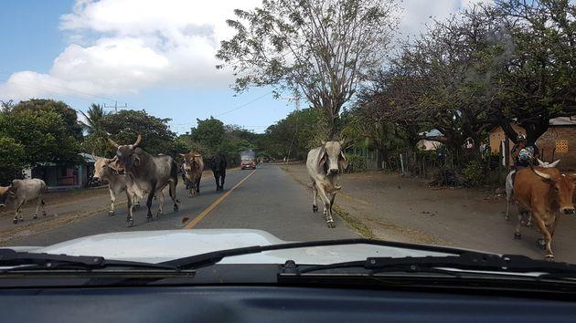2. Op Ometepe kom je bijna geen verkeer tegen, maar een kudde overstekende koeien is wel een optie _-)
