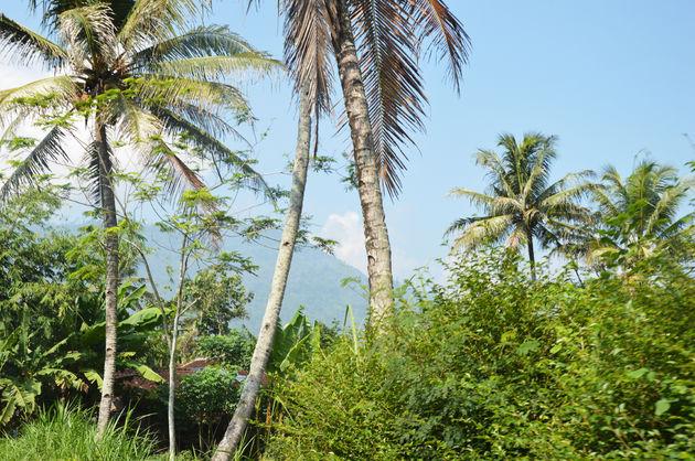30-java-palmboom