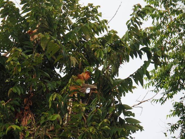 5. neusapen Kinabatanganrivier