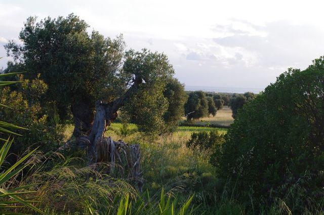 Olijfvelden in Puglia