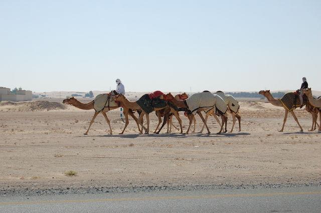 fotoalbum_dubai_kamelen_weg