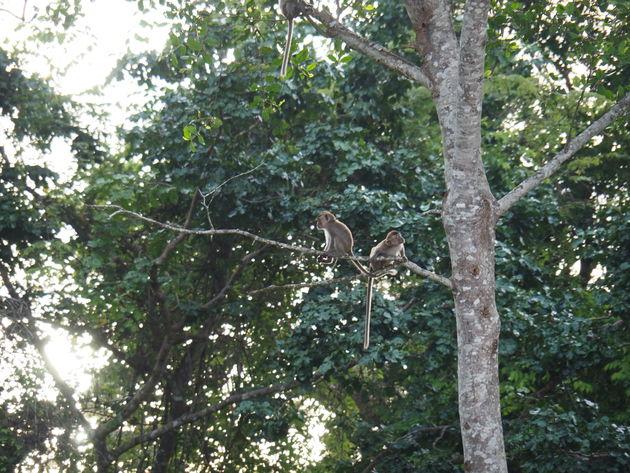 9. Makaken Kinabatanganrivier