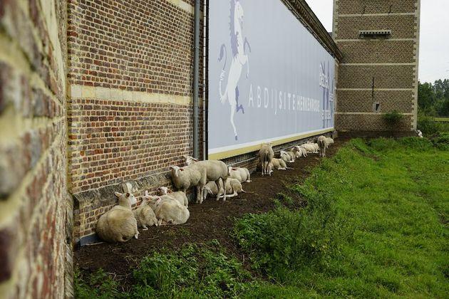 abdijsite_herkenrode_schapen