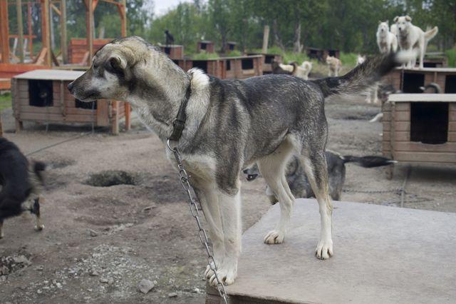 Huskey