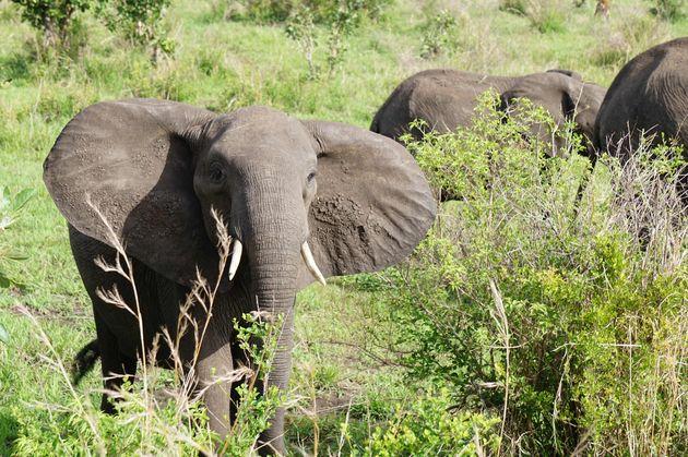 afrikaanse-olifant