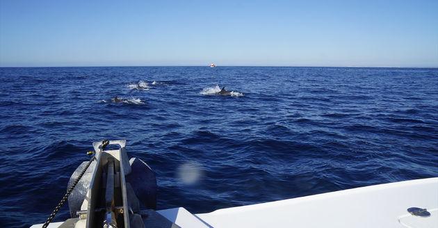 Algarve_Dolfijnen