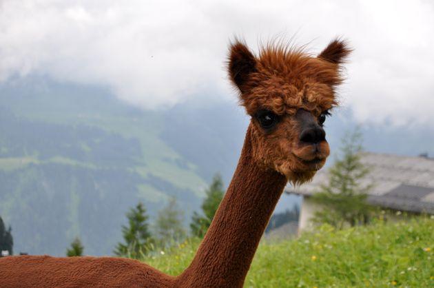 alpaca-Großes-Walsertal