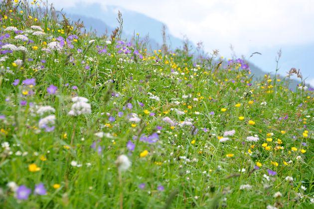 alpen-bloemen-voorjaar