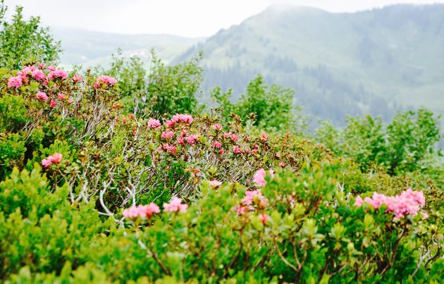 alpenrozen-zomer