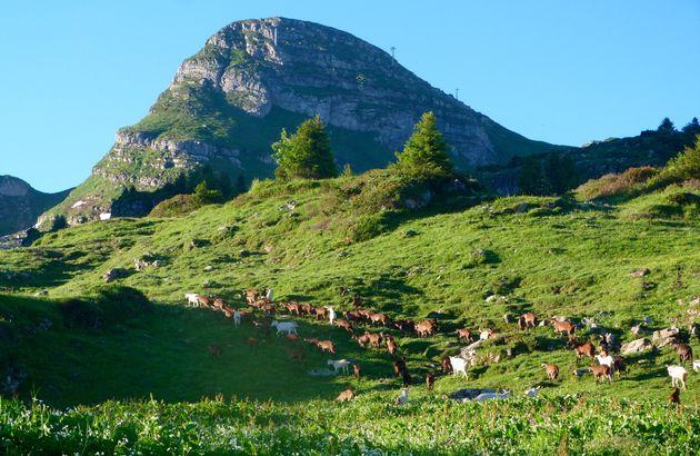 alpenweides-geiten-Chapelle-d'Abondance (4)