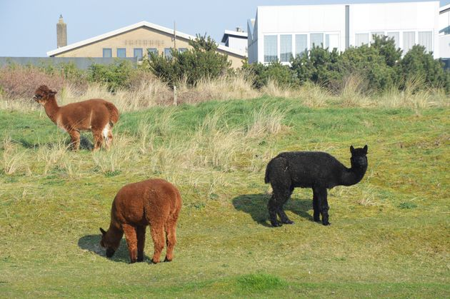ameland-alpacas