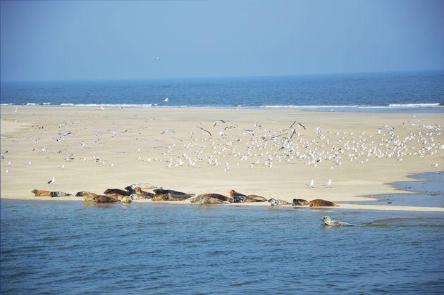 ameland-zeehonden
