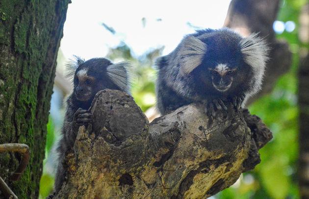 apen-brazilie