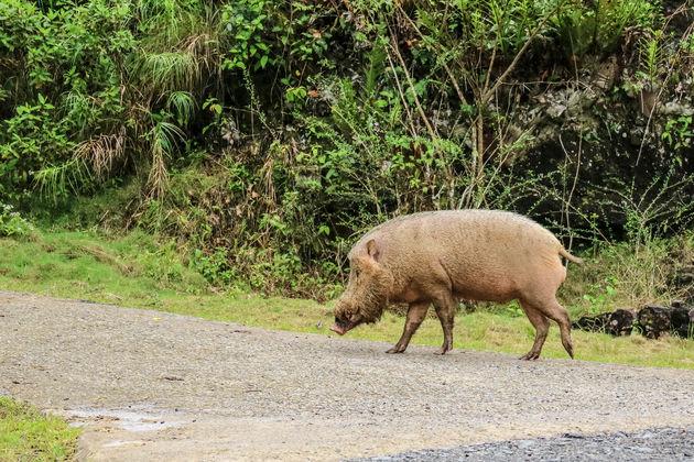 baardzwijn-borneo