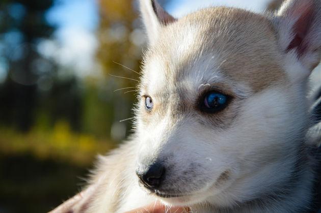 baby-husky