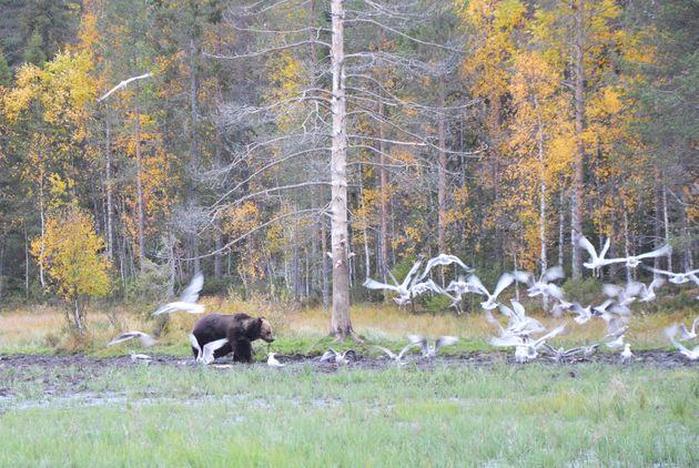 beren-lapland-herfst