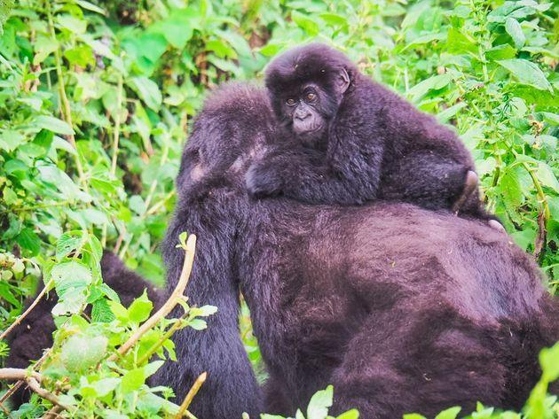Berggorilla's in Rwanda