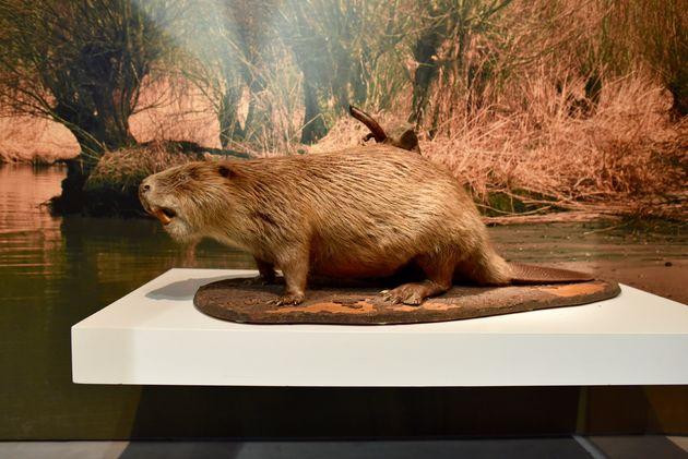 bever-biesbosch-museum-eiland