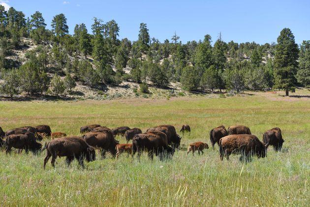 bizon-amerika