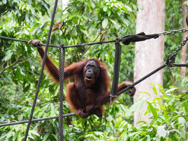 Borne-sabah-sepilok orang oetan rehabilitatiecentrum