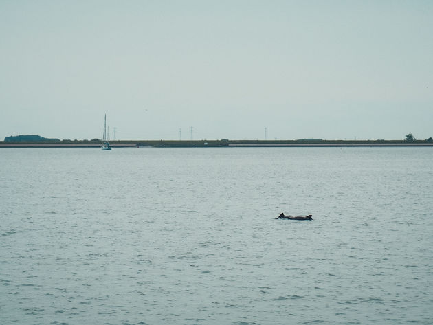 Bruinvissen Oosterschelde