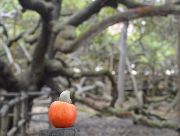cashew-vrucht-brazilie