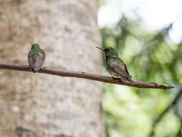 cocora-vallei-kolibrie