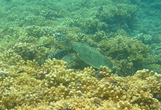coiba-koraal-Schildpad