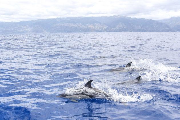 dolfijnen-madeira