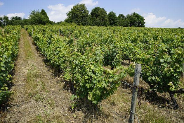 domaine_Raderie_croisard_wijngaard