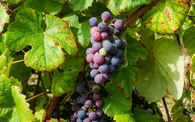 druiven-wijn-maken