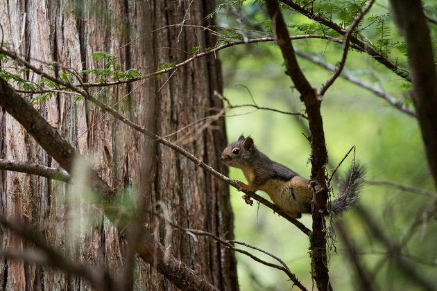 Canada_eekhoorn