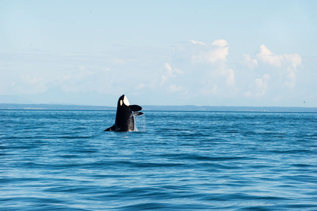 Vancouver Island Orka