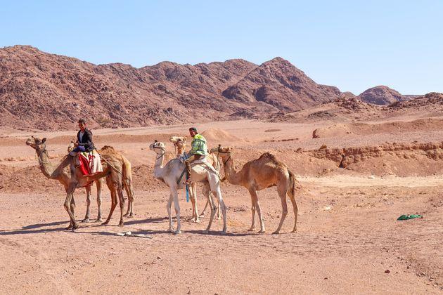 egypte-kamelen-onderweg
