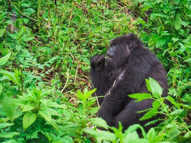 etende berggorilla