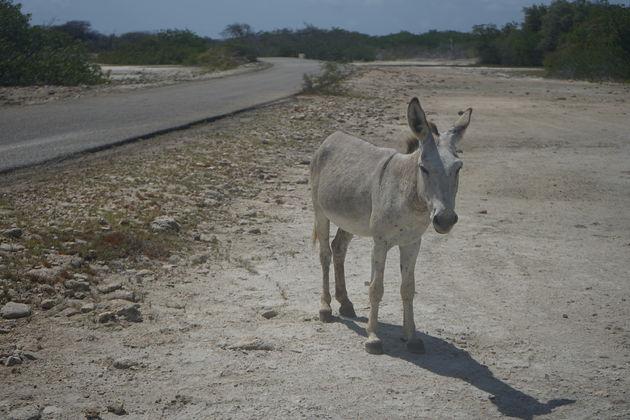 Ezels_Bonaire