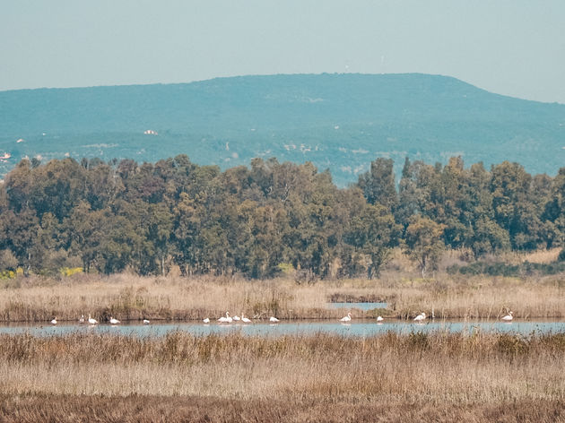 Flamingos Gialova Lagune