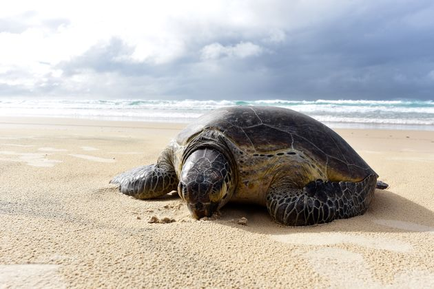 Fraser-Island-schildpad