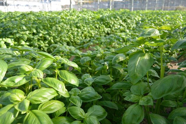 Fresh Guernsey Herbs close up