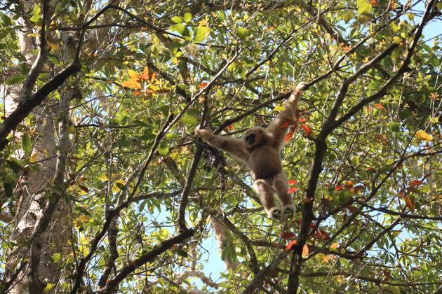 Gibbons khao yai