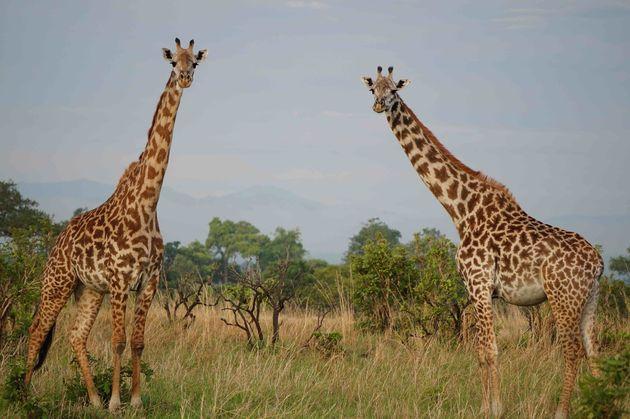 giraffes-mikumi-tanzania