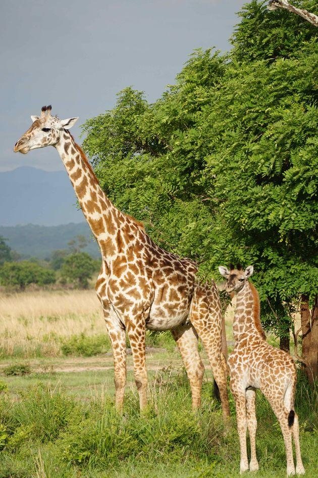 giraffes-mukumi-safari