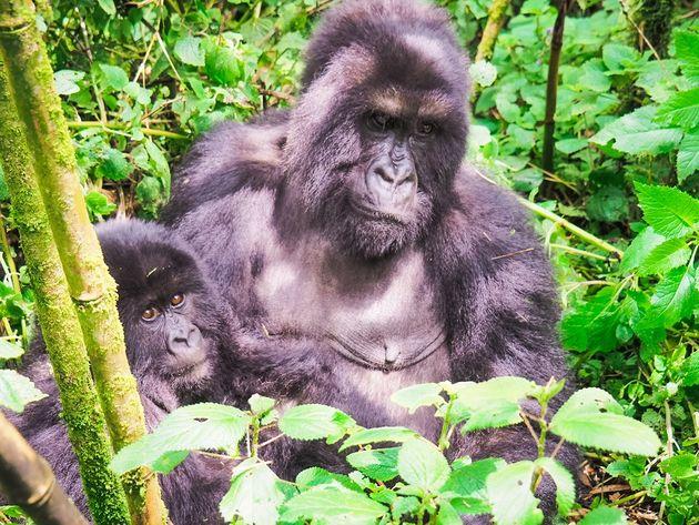 gorilla moeder en baby