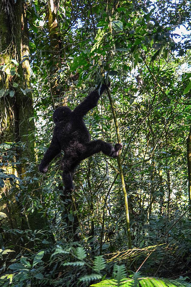 gorilla-oeganda-1