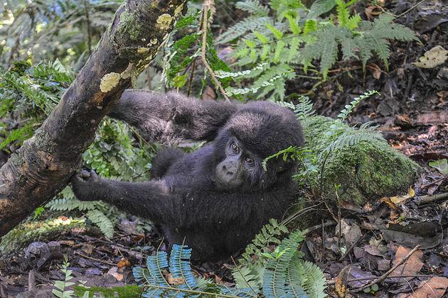 gorilla-oeganda-2