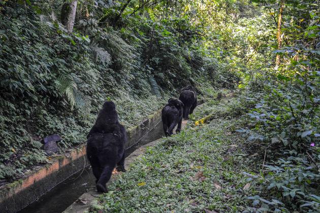gorilla-oeganda-3